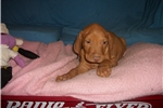 Picture of Puppy #GR10 AKC Golden Rust Male Vizsla
