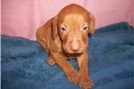 Picture of Puppy #MY4 AKC Golden Rust Female Vizsla