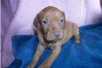 Picture of Puppy #MN3 AKC Golden Rust Female Vizsla