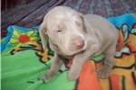 Picture of Puppy #CYE6