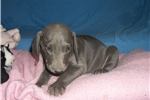 Picture of Puppy #WY3