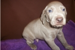 Picture of Puppy #WDY6 ShortHaired Male Silver/Gray Weimarner