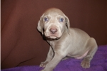 Puppy #WDY8 ShortHaired Male Silver/Gray Weimarner | Puppy at 5 weeks of age for sale