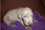 Picture of Puppy #WDY8 ShortHaired Male Silver/Gray Weimarner