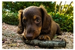 Dachshund, Mini for sale