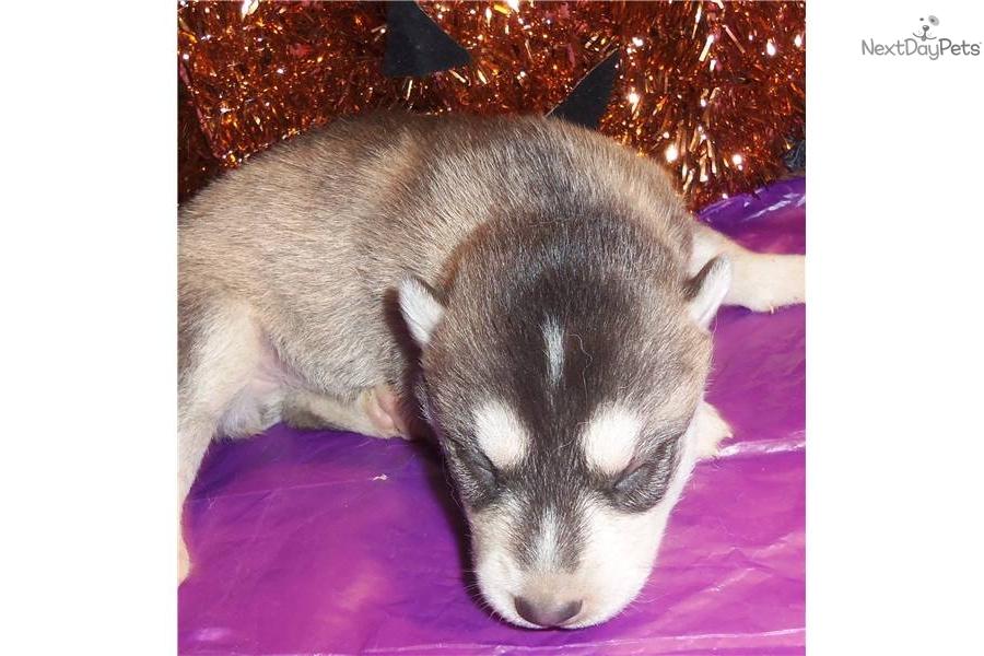 akc-siberian-huskydog-siberian-husky-puppy-28a5ac76-2d57-4532-aca1