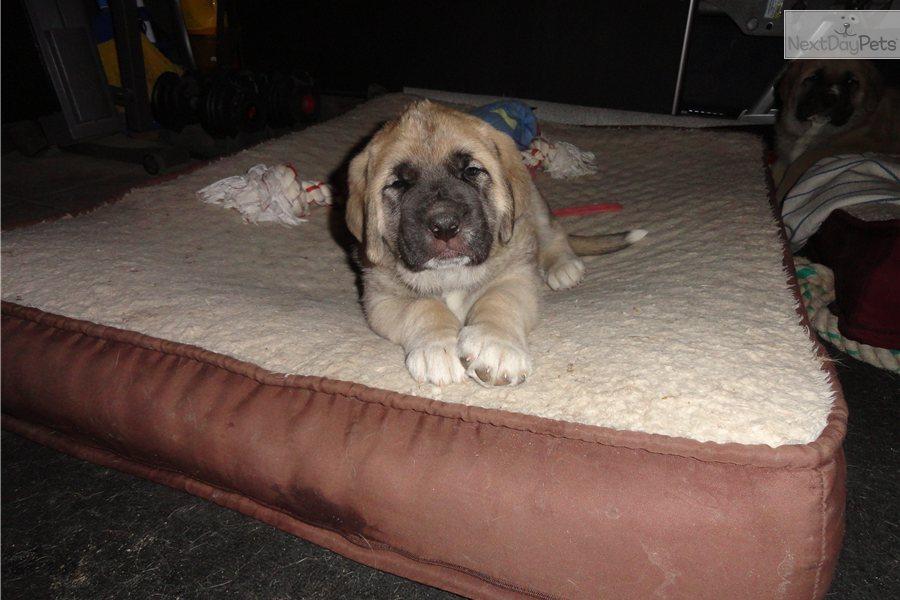Picture of a Spanish Mastiff