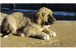 Picture of a Spanish Mastiff Puppy