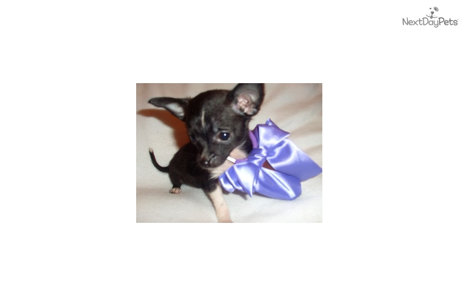 How To Train Chihuahua Puppy To Be Service Dog