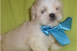 Chinese Chongqing Dog for sale