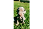 Picture of Silver Female weims