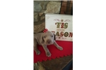 Picture of SILVER WEIM FEMALE AKC