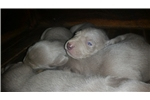 Picture of SILVER WEIM FEMALE