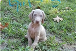Picture of SILVER WEIM FEMALE JAZZY