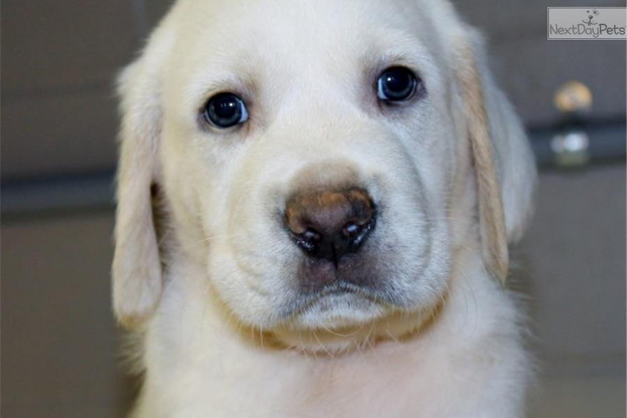 Labrador Retriever Puppies For Sale Georgia