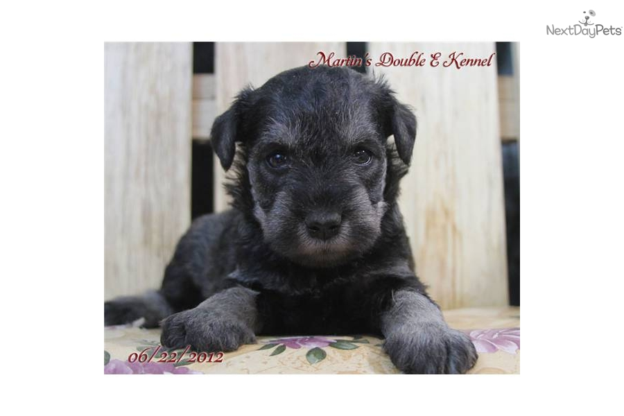 thomas-male-miniature-schnauzer-puppydog-schnauzer-miniature-puppy ...