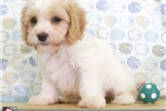 Picture of Paul Male Cavachon Puppy