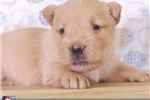 Picture of Sandford Male Scotty Puppy