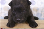 Picture of Scottie Male Scotty Puppy