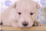 Picture of Saul Male Scotty Puppy
