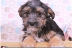 Picture of Terra Female SilkyTon Puppy