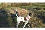 Picture of Registered English Pointer