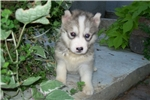 Siberian Husky for sale