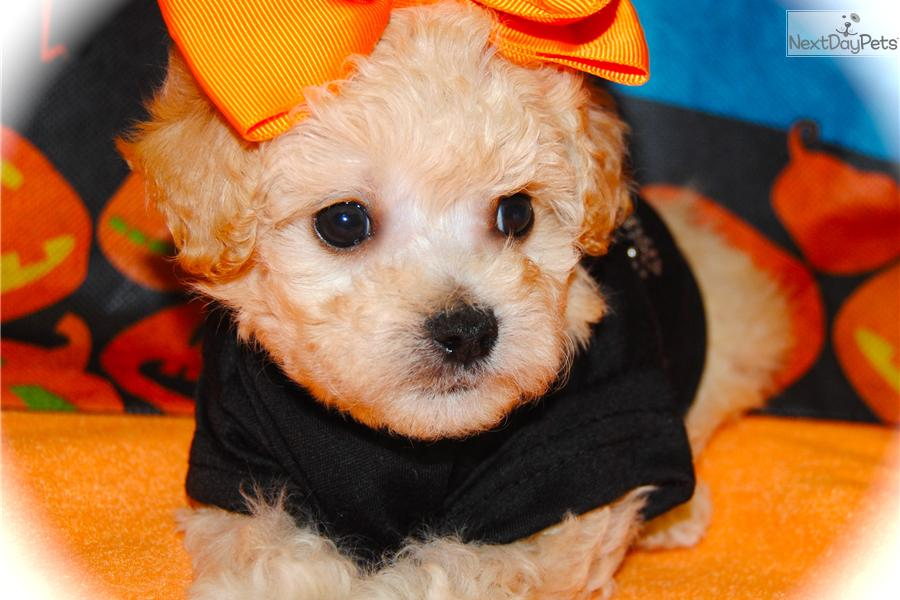 Puppies For Sale Morkie Or Maltipoo Puppy Guarantee Hybrid ...