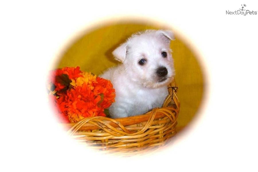 Westie puppy for sale in texasdog west highland white terrier westie