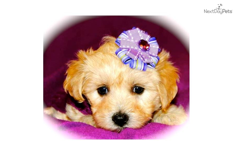 Suggestions chiweenie puppies for sale in houston tx consolidative