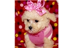 Picture of CHARLOTTE ~ Maltipoo puppy for sale in Texas area