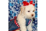 Picture of MINNIE ~ Maltipoo puppy for sale in Texas area