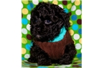 Picture of BEAR ~ ShihPoo Puppy for sale in Texas area