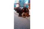 Picture of Adorable Family Raised Basset Puppies For Sale