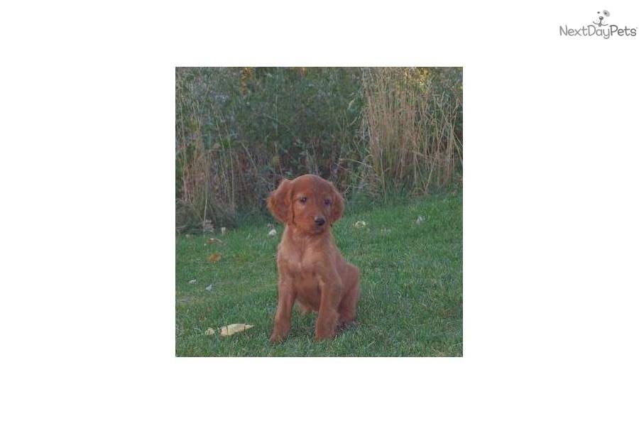 Irish Setter for sale for $200, near Logan, Utah. 566785c7 ... Irish Setter Utah