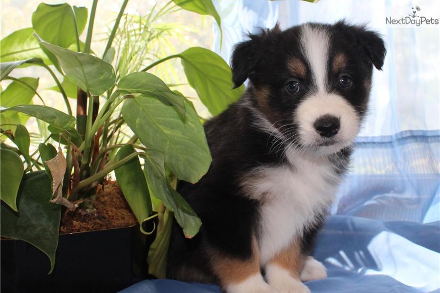 Australian Shepherd puppy for sale near Pittsburgh, Pennsylvania ...
