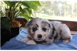 Picture of AKC Blue Merle Australian Shepherd