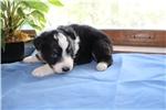 Picture of AKC Black Tri Australian Shepherd