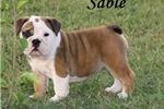 English Bulldog for sale