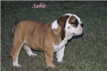 Picture of Akc Eng Bulldog Female (Dad triple color carrier)