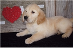 Picture of AKC Female Golden Retriever - Alicia