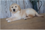 Picture of AKC Female Golden Retriever - Charlie