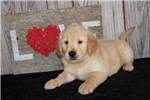 Picture of AKC Male Golden Retriever - Alex