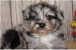 Picture of ACHC Male Pom-A-Poo   S'more