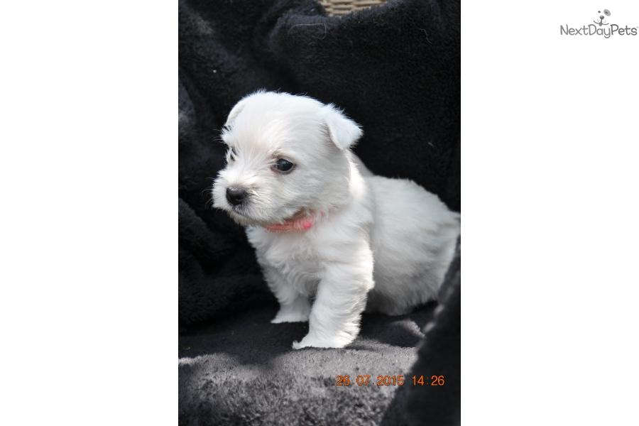 West Highland White Terrier Costo West Highland White
