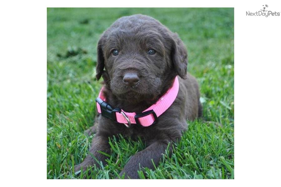 Cute Pomsky Puppy