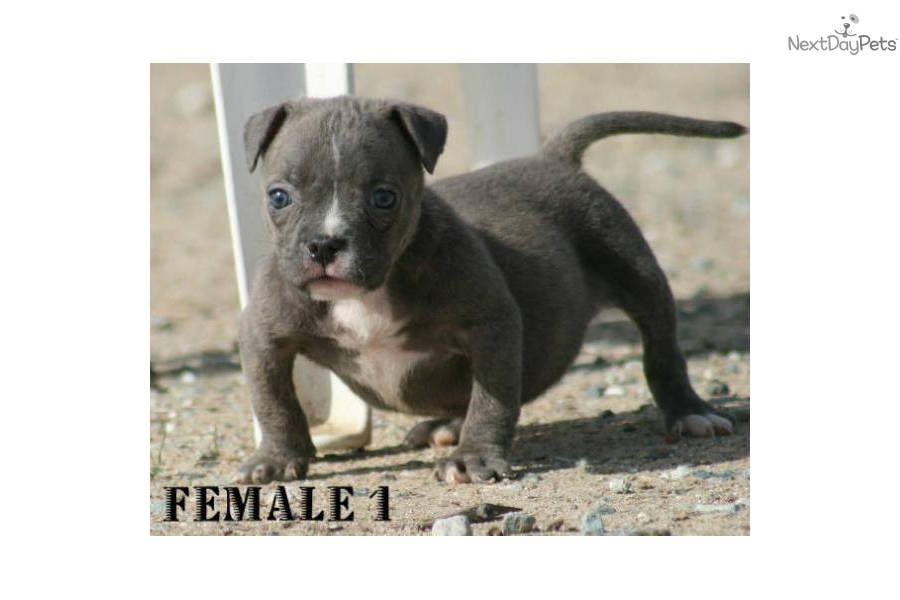 Pit bull terrier puppy for sale for 2 000 blue pocket bully pit bull