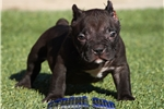 Picture of RARE BLACK POCKET BULLY MALE... AVAILABLE!!!