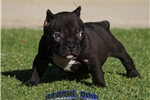 Picture of RARE BLACK FEMALE POCKET BULLY... AVAILABLE!!!