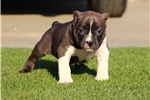 Picture of SHORT AND THICK POCKET PIT...AVAILABLE!!